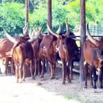 วัววาตูซี่-ไร่บุญรอด